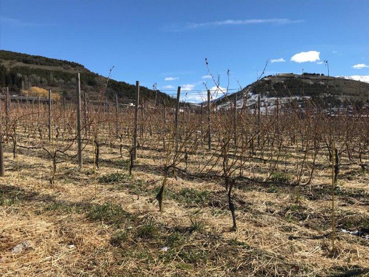 Les vinyes de Sauvignon Blanc de Llivins a Llívia