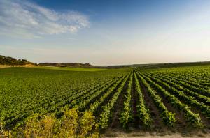 Raimat prova un nou sistema de reg de vinya que permet estalviar un 25% d'aigua
