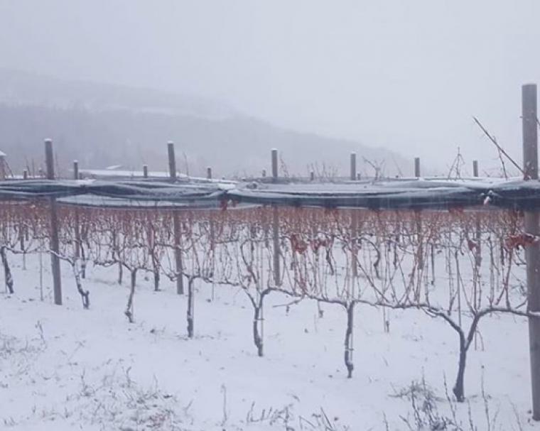 Neu a les vinyes de Llívia