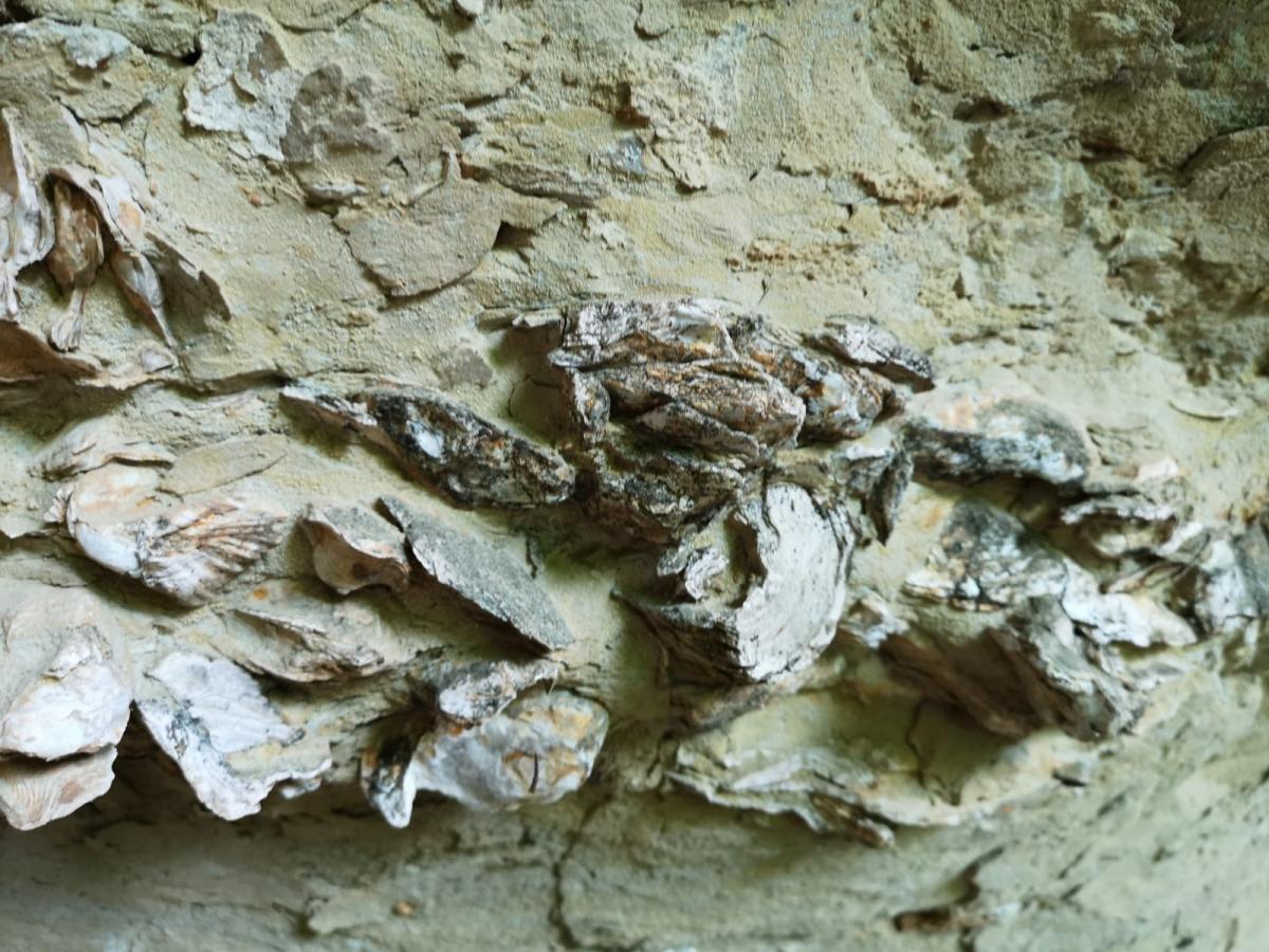 Ostres fossilitzades a laparet calcàrea de l'Heretat de Llopart