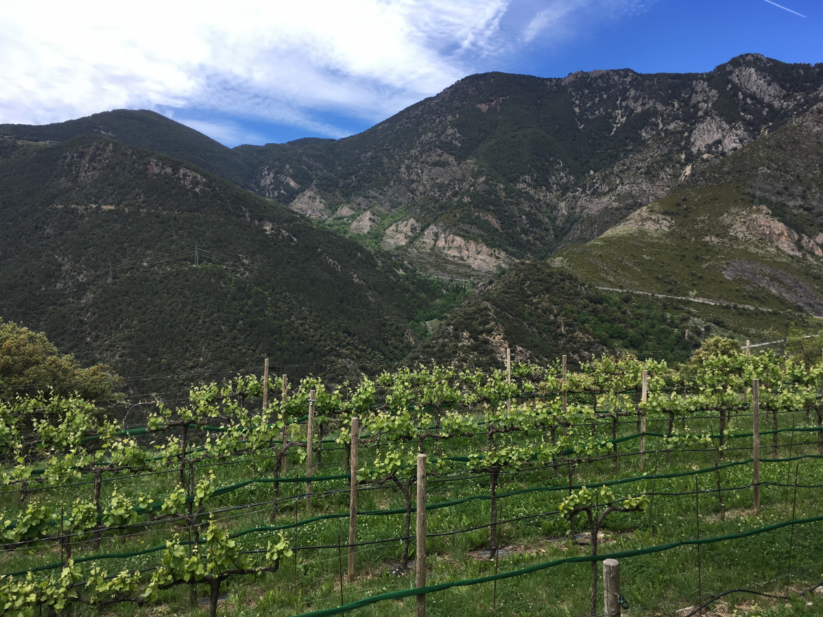 Les vinyes de muntanya de Casa Auvinyà