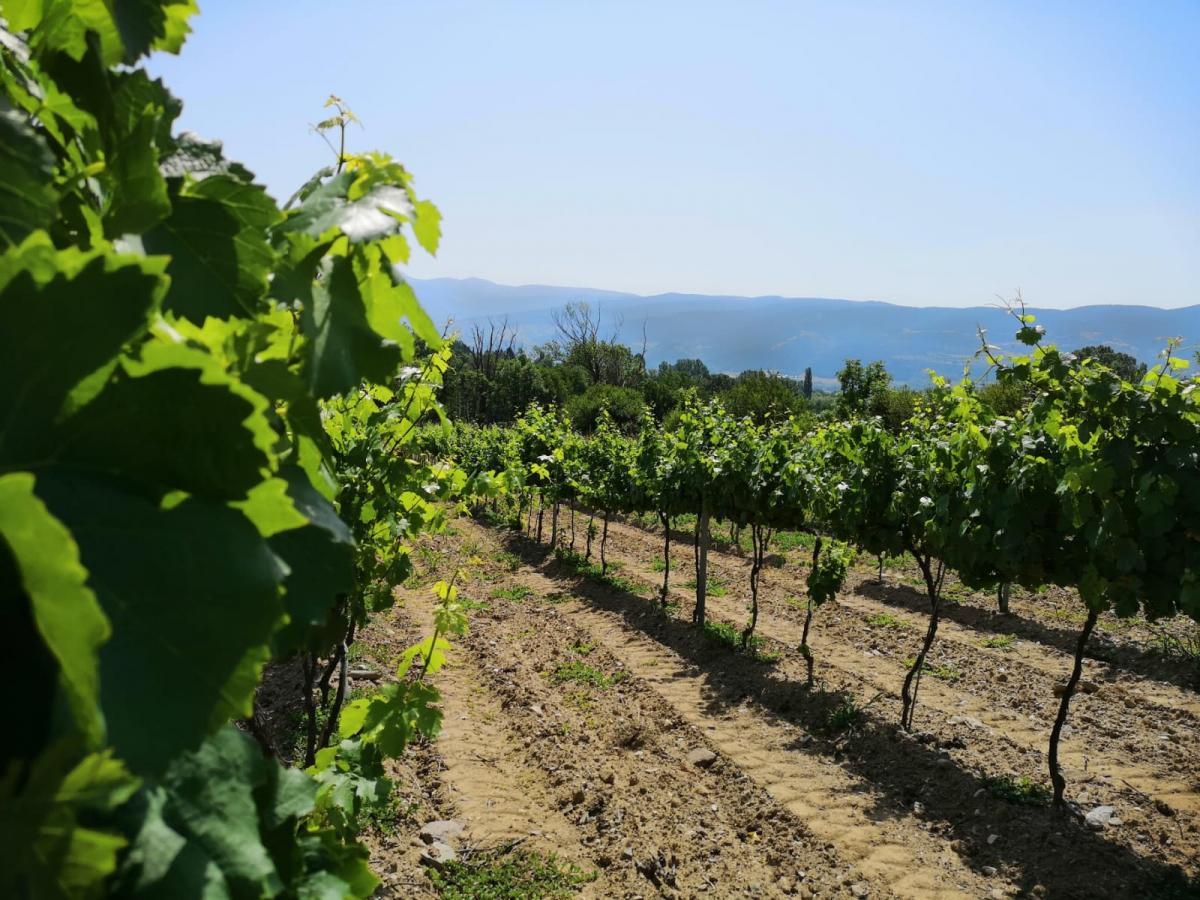 Vinyes de pinot noir de Torre del Veguer a Bolvir