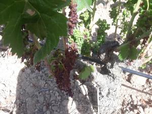 Vinyes afectades per l'onada de calor