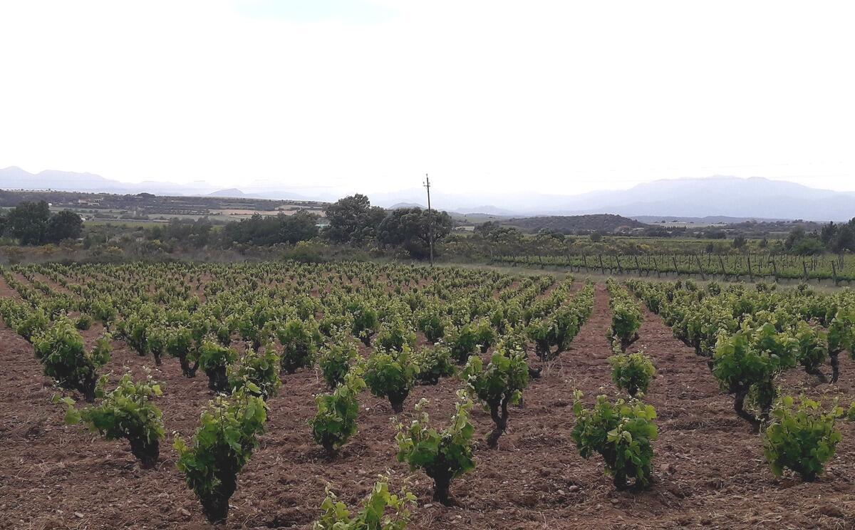 Carinyena roja a la finca Sureda de Garriguella