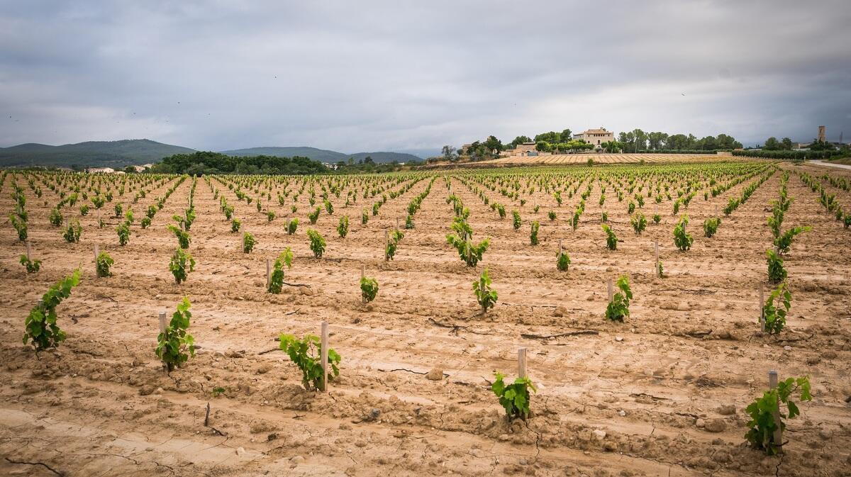 La vinya de moneu de Torres del Castell de la Bleda