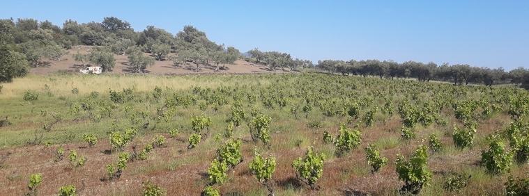 Vinya de l'Estanyol (Espolla)