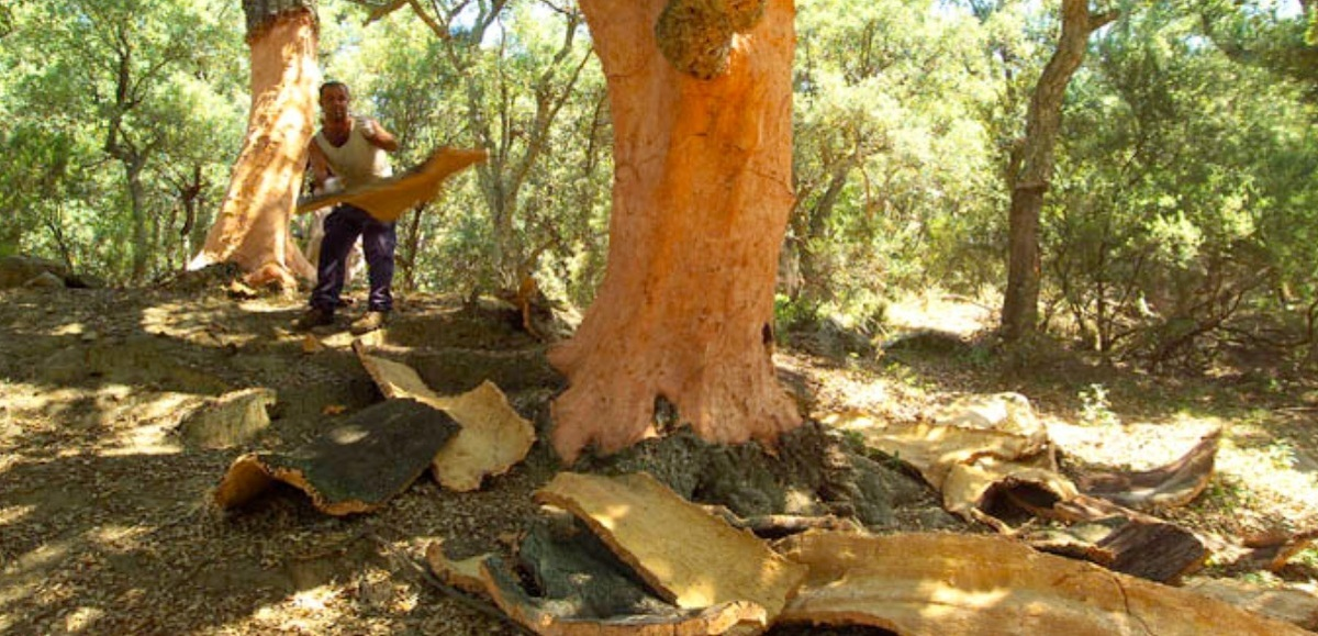 El tap de suro ajuda a mitigar els efectes del canvi climàtic