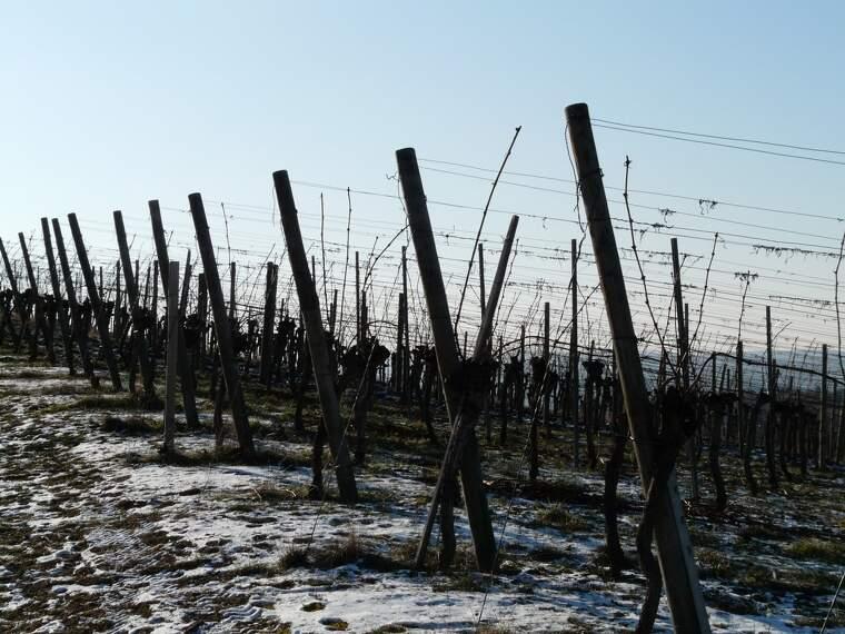 Les glaçades a la vinya de la DO Conca de barberà poden provocar pèrdues catastròfiques