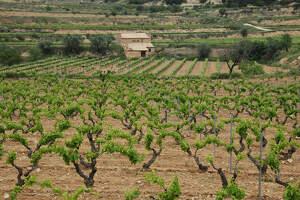 Les vinyes del Celler Clua no t'aturen tot i el coronavirus