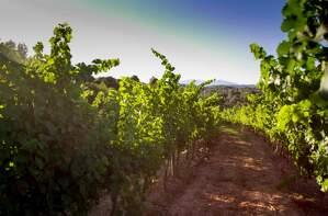 De les vinyes de Mas Vida en sortirà un vi experimental