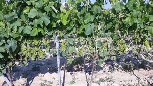 El míldiu està afectant greument la vinya a Catalunya especialment l'ecològica