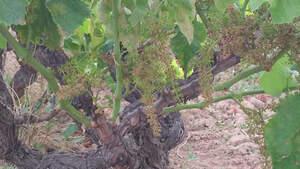 Vinya del Penedès afectada pel míldiu
