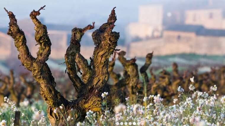 Vins El Cep està format per quatre finques veïnes al Penedès que han patit els efectes del míldiu