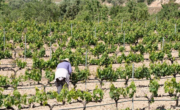 La vinya és un dels cultius tradicionals de la DO Terra Alta