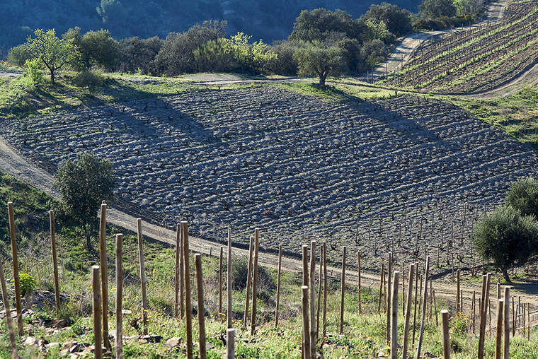 Les vinyes de Clos Pachem, la majoria de garnatxa i carinyena