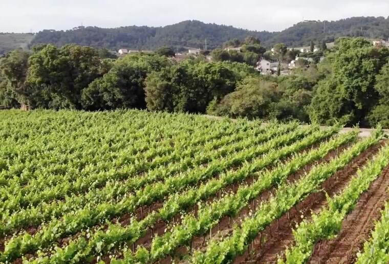 Les vinyes de la DO Alella estan a 20 minuts del centre de Barcelona