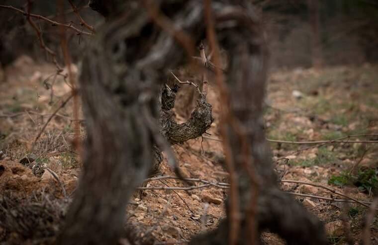Les vinyes d'on neix aquest vi tenen més de vuitanta anys<