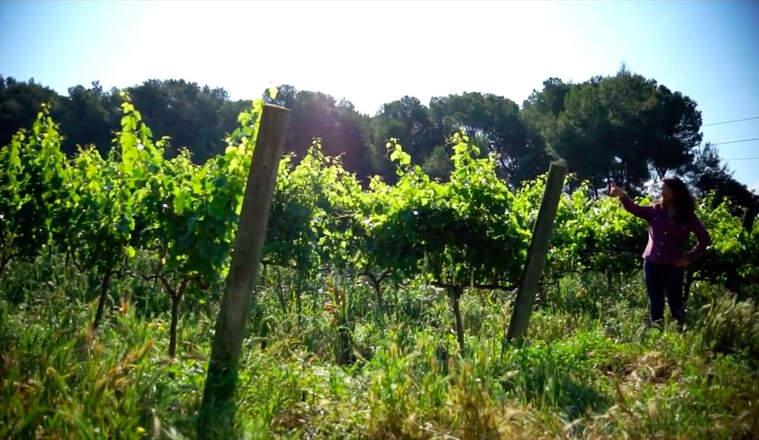 Les vinyes del Jardí dels Sentits