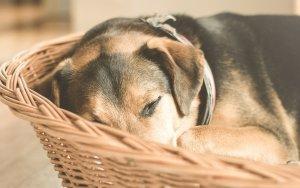 Eviteu que el vostre gos emmalalteixi amb la prevenció.