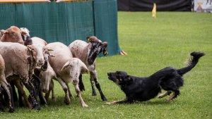 XXX Concurs de Gossos d'Atura de Prades