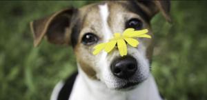 Les al·lèrgies en gossos poden ser provocades per moltes causes.