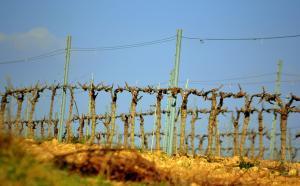 Vinya del Penedés, La Berna. Etiquetada per a la reutilització.