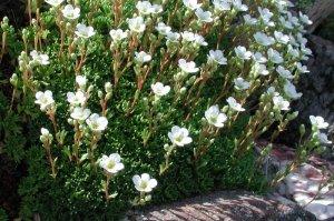 Herba de Sant Segimon