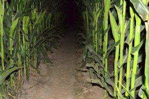 Laberint de blat de moro