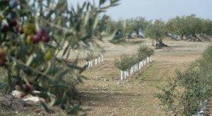 L'olivera és típica a la zona