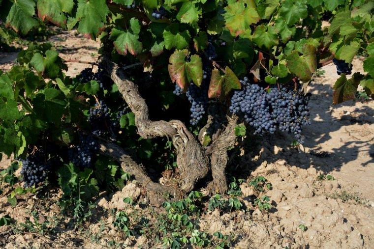 La primera vinya de Catalunya va estar al Penedès